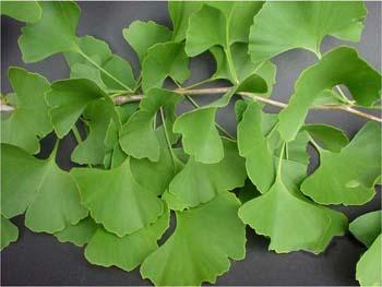 hojas del Ginkgo biloba