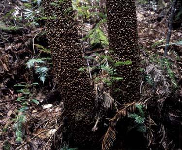 los troncos del wollemi
